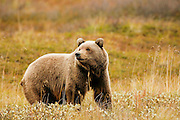 Grizzly Bear (interior Alaska), Ursus arctos; closeup, autumn, alpine tundra, hibernates in winter, Denali National Park, Alaska, ©Craig Brandt, all rights reserved; brandt@mtaonline.net