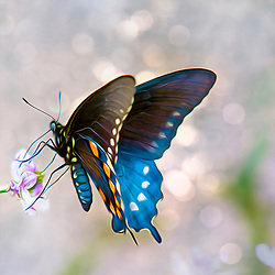 A Glory Morning Butterfly Backed By Glistening Morning Light
