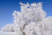 Hoarfrost covered trees<br />Oakbank<br />Manitoba<br />Canada