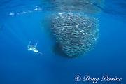 striped marlin, Tetrapturus audax, and California sea lions, Zalophus californianus, feeding on mixed baitball of sardines and Pacific chub mackerel or green mackerel Scomber japonicus, off Baja California, Mexico ( Eastern Pacific Ocean )