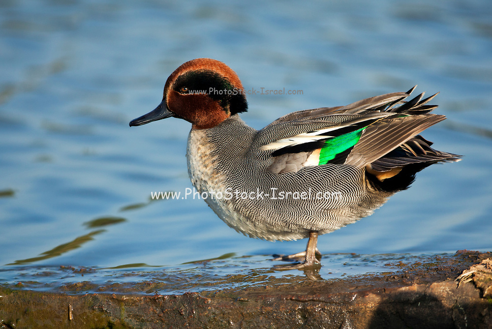 Common teal (Anas crecca) drake standing on waters edge The Eurasian, or common, teal is a common and widespread duck that breeds in temperate Eurasia and migrates south in winter. Photographed in Israel in December