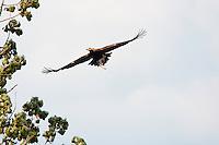 Kaiseradler mit Beute im Flug, Aquila heliaca, Ost-Slowakei / Eastern Imperial Eagle with prey in flight, Aquila heliaca, East Slovakia