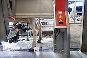 Nederland, Groesbeek, 10-9-2016Een melkveebedrijf beschikt over de modernste melkmachine, melkrobot . In de nieuwe en moderne stal kunnen de koeien zich vrij bewegen en laten zij zich melken bij een van de drie melkstations . Een computergestuurd systeem reinigt eerst de spenen waarna via laserlicht de trechters hun weg naar de speen vinden. Dit doet de koe drie tot vier keer per dag, met een verhoging van de totale melkproductie tot gevolg . Foto: Flip Franssen