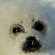 Harp Seal, portrait of pup often called a white coat. Spring.