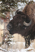 Bull bison during winter