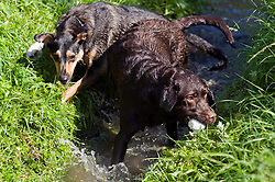 A playful Black and Tan juvenile mongrel dog play fights in small stream with a Chocolate Brown Labrador in a local Park<br /> <br /> 16 August 2010<br /> Image Copyright Paul David Drabble
