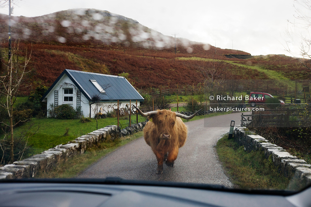 Longhorn cattle occupy the single-track road at Kilbrennan, Isle of Mull, Scotland.