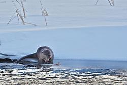 River Otters, Flat Creek, Jackson Hole, Wyoming