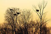 Blue Heron Rookery, Montana.