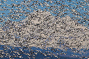 A very large flock of snow geese (Chen caerulescens) fly over the Skagit Valley of Washington state with Mount Baker in the background. Tens of thousands of snow geese winter in the Skagit Valley, feeding in farmers' fields. They breed during the summer months on the upper reaches of Alaska, Canada, Greenland and Siberia. Mount Baker, which has an elevation of 10,781 feet (3,286 meters), has the second-most thermally active crater of any volcano in the Cascade Range.