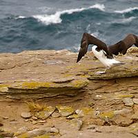 Falkland Flying Birds