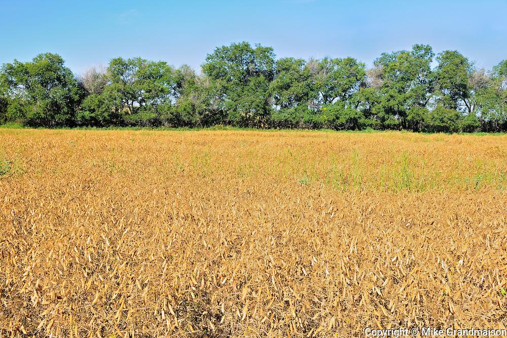 Yellow peas <br /> Beverley<br /> Saskatchewan<br /> Canada