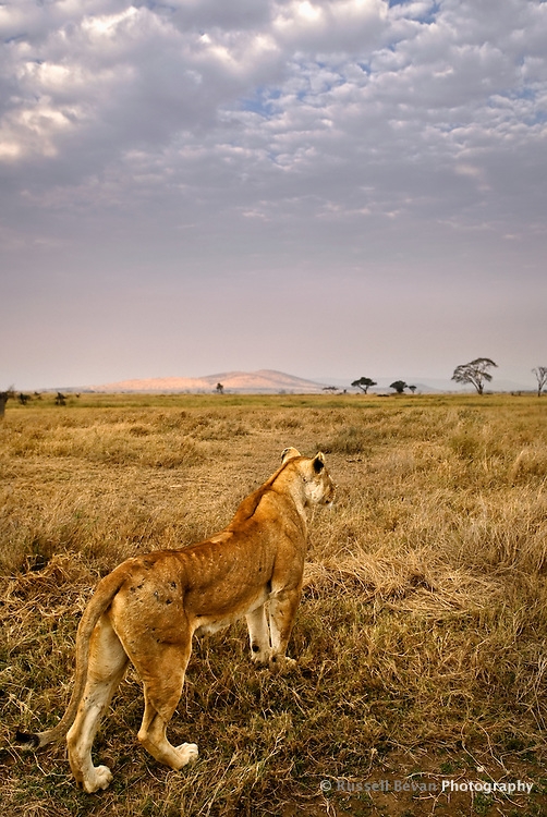 A lioness looks out over the morning savanna in the Serengeti National Park, Tanzania
