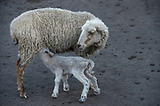 Sheep<br /> Pulingue San Pablo community<br /> Chimborazo Province<br /> Andes<br /> ECUADOR, South America