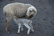 Sheep<br /> Pulingue San Pablo community<br /> Chimborazo Province<br /> Andes<br /> ECUADOR, South America