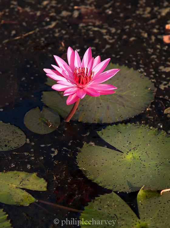 A water lily growing in a pond by an ancient temple in Siem Reap Province, Cambodia