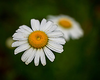 Daisy. Image taken with a Leica SL2 camera and 60 mm f/2.8 TL lens.