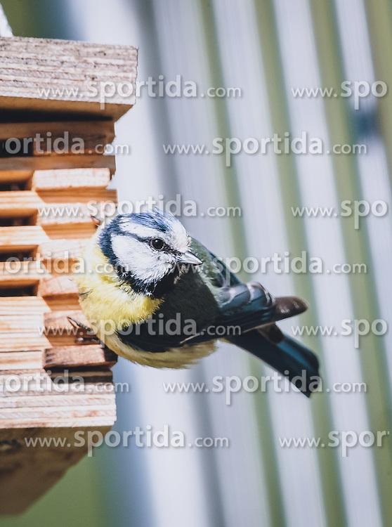 THEMENBILD - eine Blaumeise (Cyanistes caeruleus, Syn.: Parus caeruleus) sitzt auf einem Vogelhaus, aufgenommen am 06. Juni 2020 in Piesendorf, Oesterreich // a blue tit (Cyanistes caeruleus, Syn.: Parus caeruleus) is sitting on a birdhouse, in Piesendorf, Austria on 2020/06/06. EXPA Pictures © 2020, PhotoCredit: EXPA/Stefanie Oberhauser