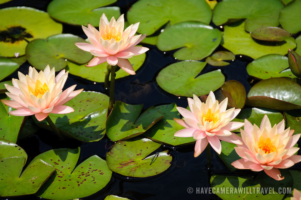 Water lillies at the US National Arboretum in Washington DC, a Department of Agriculture education and research reserve.