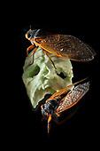 Cicadas in the studio