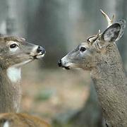 Whitetail Deer, (Odocoileus virginianus) Young three-legged buck confronts doe over feeding spot.