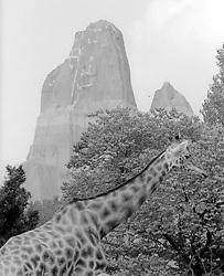 A giraffe walks through its pen at the Parc Zoologique de Paris in the Bois de Vincennes, Tuesday, June 10, 1984, in Paris. (Photo by D. Ross Cameron)