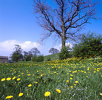 Dandelion and Speedwell growing in a spring meadow. Lancashire