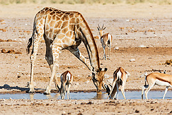 Giraffe and Steenbok drinking water at Etosha National Park, Namibia, Africa