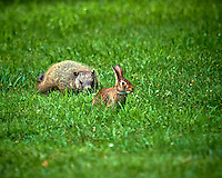 Willie the Groundhog vs. Harvey the Rabbit. Backyard Summer Nature in New Jersey. Image taken with a Nikon D800 and 600 mm f/4 VR lens (ISO 100, 600 mm, f/4, 1/500 sec).