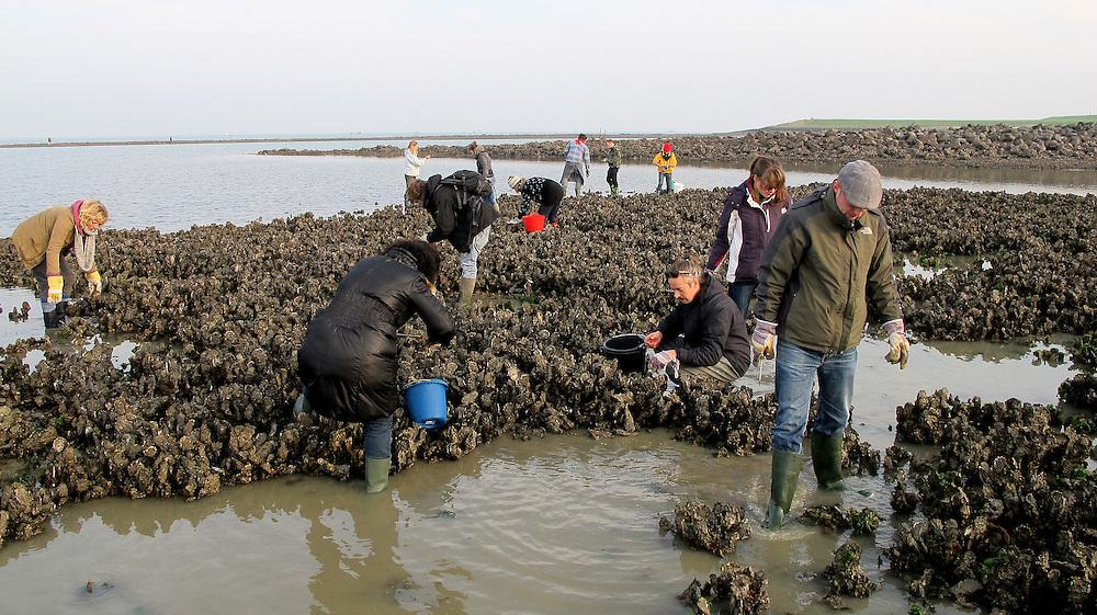 Nederland, Goes (omgev.) 19 nov 2011.Workshop oesters vissen, klaarmaken en opeten. De japanse oester is een plaag in zeeland. Maar je kan ze ook rapen en opeten. Er zijn workshops waarin je geleerd wordt welke oester je moet meenemen....Foto (c): Michiel Wijnbergh