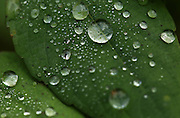 Water droplets shine on this leaf at Scriber Creek Park in Lynnwood. The park features a small area of wetlands thick with plant life.<br /> <br /> Erika Schultz / The Seattle Times