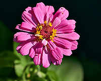 Zinnia Flower. Image taken with a Fuji X-H1 camera and 80 mm f/2.8 macro lens