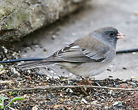 Dark-eyed Junco (Junco hyemalis). Image taken with a Nikon D850 camera and  500 mm f/4 VR lens.