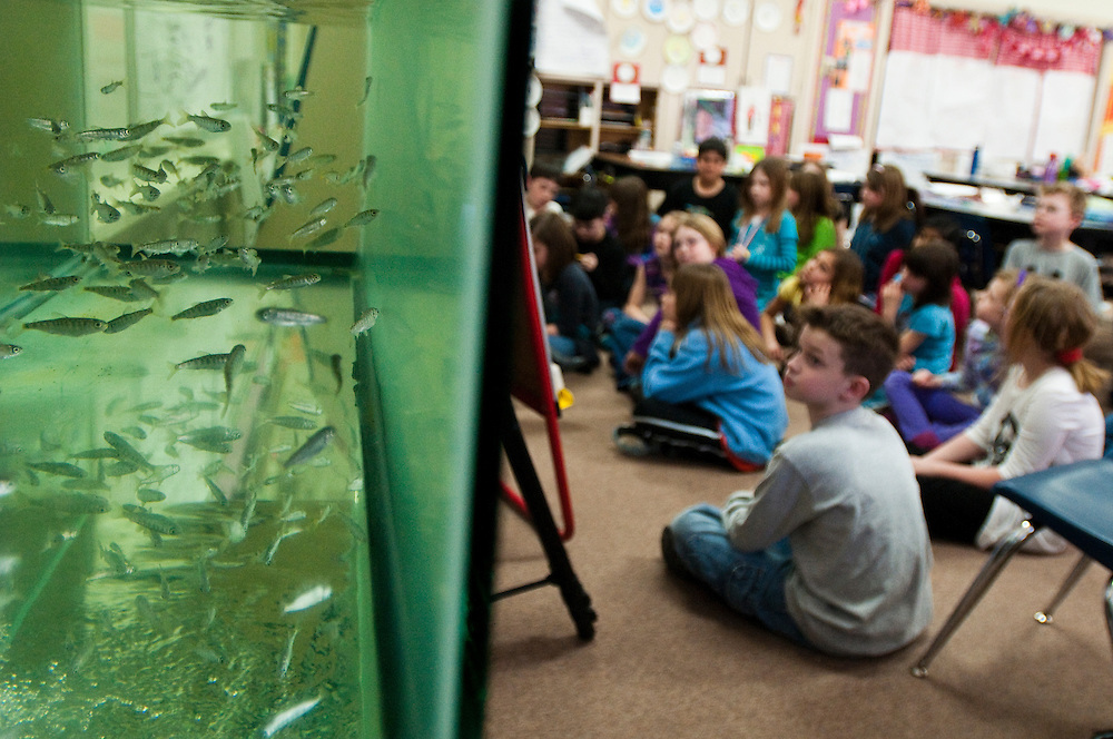 Matt Dixon   The Flint Journal..Dozens of young chinook salmon swim in their tank in Jaime Cramer's third and fourth grade class at Grand Blanc City School. The fish are part of the Salmon in the Classroom program which helps kids learn firsthand about the lives of salmon and their ecosystem. The fish will be released into the Flint river sometime in May.
