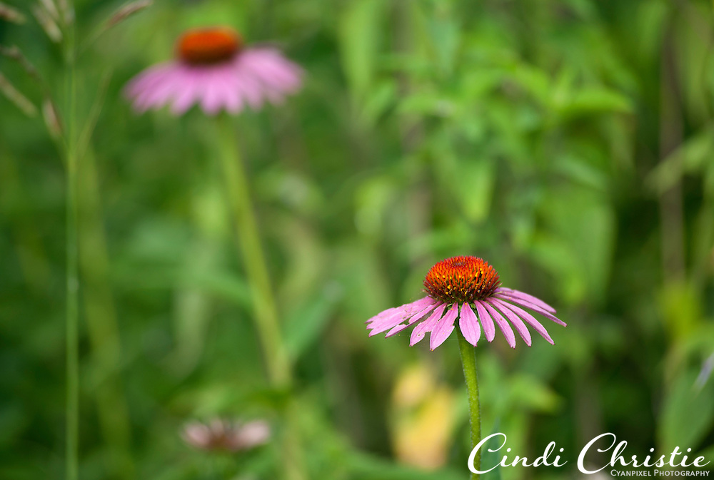 Purple coneflowers grow at Schaar's Bluff Gathering Center in Spring Lake Park Reserve, Hastings MN, on Friday, July 22, 2011. (© 2011 Cindi Christie/Cyanpixel Photography)