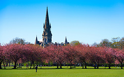 Edinburgh, Scotland, UK. 21April 2020. The Meadows park in warm sunny weather with cherry blossom on trees. The park was relatively busy with public outside exercising and taking advantage of the good weather. To rear Barclay Viewforth Church of Scotland steeple. Iain Masterton/Alamy Live News