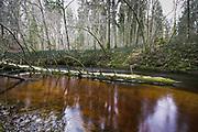 Fallen spruce (Picea abies) overgrown with moss laying in dark brown waters of river Loja, Murjāņi, Gauja National Park (Gaujas Nacionālais parks), Latvia Ⓒ Davis Ulands   davisulands.com