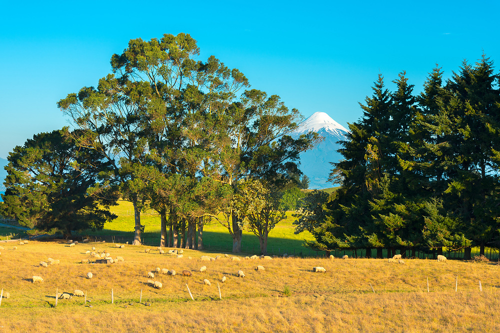 Sheep in a farm at the shores of Lake LLanquihue with Osorno Volcano in the back, X Region de Los Lagos, Chile