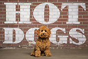 Wrigley the dog at Fenway Park in front of Hotdog sign