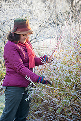 Cutting brightly coloured cornus stems to bring into the house for flower arranging