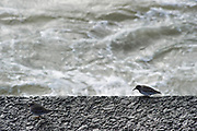 The Hague, South-Holland/Netherlands -022620: Sandpipers looking for food  on the rocks of the pier in Scheveningen