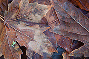 Several maple leaves, some dusted with frost, cover the forest floor in autumn in the Shelton View Forest, Bothell, Washington.