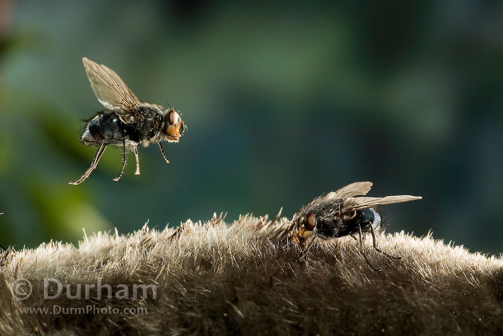A blow fly (family: Calliphorids) lands on the pelage of a dead townsend's mole while another is already feeding. These flies are attracted to the odor of the decaying animal.