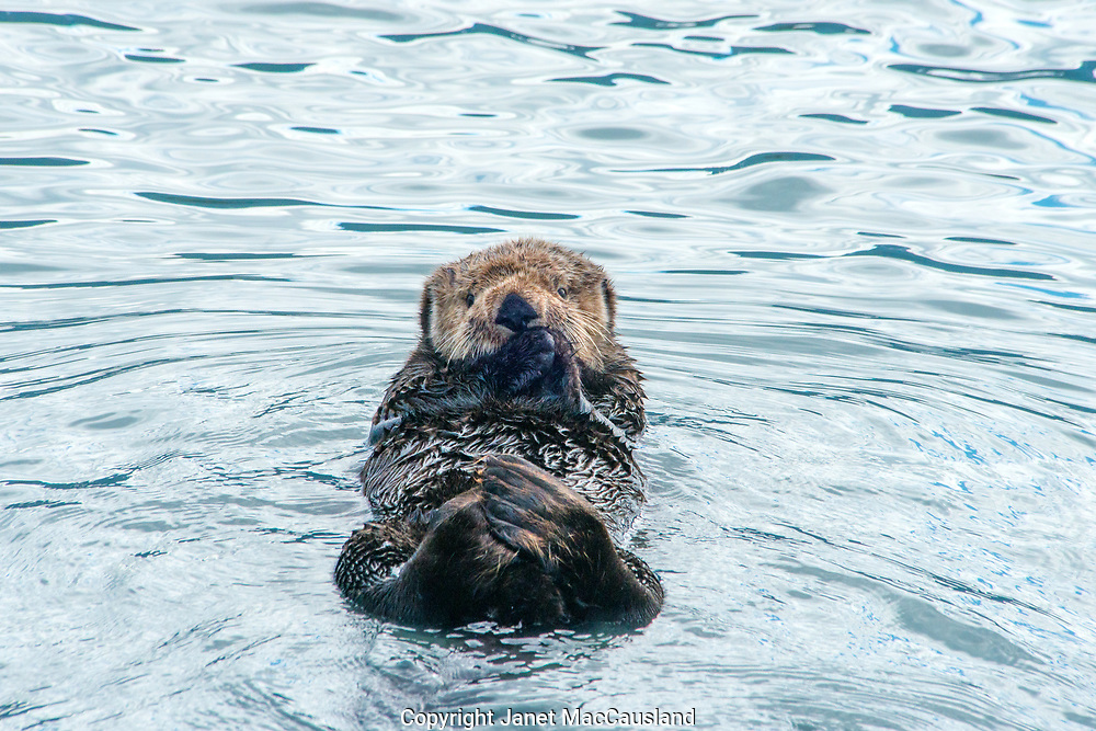 This Sea Otter (Enhydra lutris) is carrying a stone tool between his paws. He will use it to crack open clams and crabs.