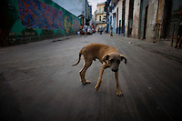 cuban stray dog in havana street