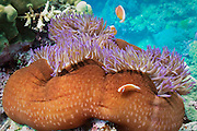 Pink anemonefish (Amphiprion perideraion) and Magnificent Sea Anemone (Heteractis magnifica) on tropical coral reef - Agincourt Reef, Great Barrier Reef, Queensland, Australia. <br /> <br /> Editions:- Open Edition Print / Stock Image