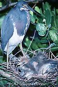 tricolor heron, Egretta tricolor,  adult and chicks in <br /> nest, Greynolds Park, North Miami Beach, Florida, USA, North America