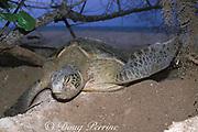 green sea turtle, Chelonia mydas, covers nest after laying eggs, Selingaan Island, Turtle Islands Park, Sabah, Borneo, Malaysia ( Celebes Sea, Western Pacific Ocean )