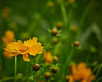 Coreopsis. Image taken with a Nikon D850 camera and 200-500 mm f/5.6 VR lens.