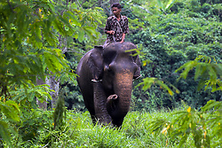 August 12, 2016 - Medan, North Sumatra, Indonesia - A guard with the Sumatran elephants were trained in Medan Zoo on August 12, 2016, Indonesia. At the World Elephant Day, habitat loss due to massive illegal logging and deforestation for palm oil plantation in Sumatra Island today only 1,724 Sumatran elephants remaining in the wild, down 39 percent from the 2007 population estimates. (Credit Image: © Ivan Damanik via ZUMA Wire)